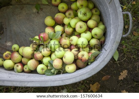 Picked Apples in Iron Bath - stock photo