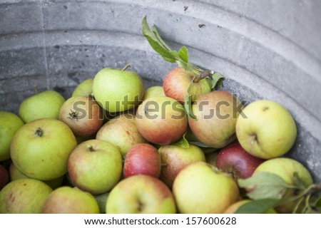 Picked Apples in Iron Bath. Close Up. - stock photo