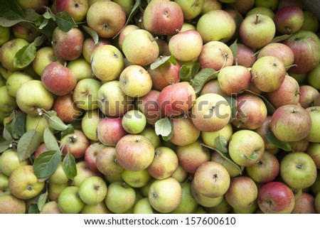 Picked Apples. Red. - stock photo