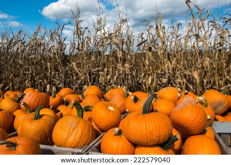 Picked pumpkins ready for the fall and autumn season of Halloween and Thanksgiving. - stock photo