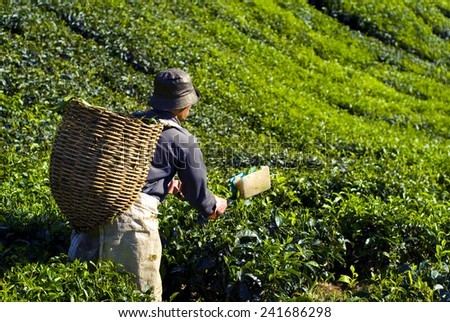 Picker harvesting tea leaves.