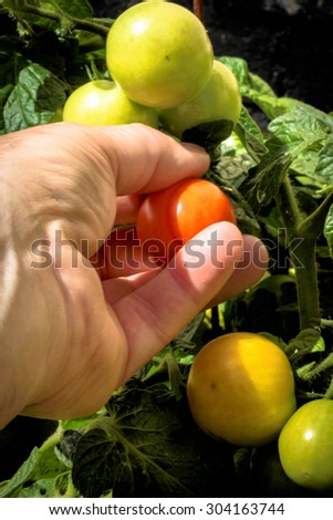 Picking a red ripe tomato from the vine by hand - stock photo