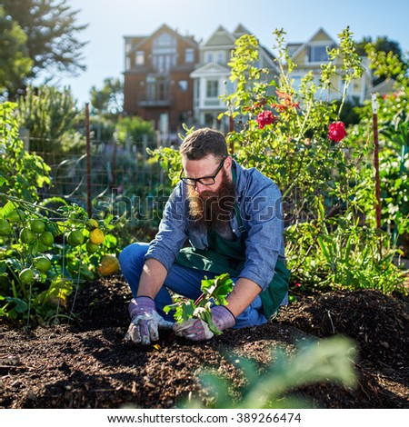 picking beets in urban communal garden - stock photo