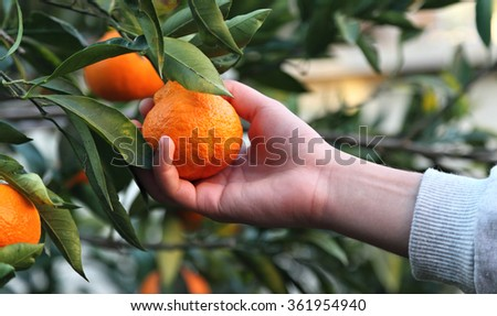 Picking Clementines - stock photo