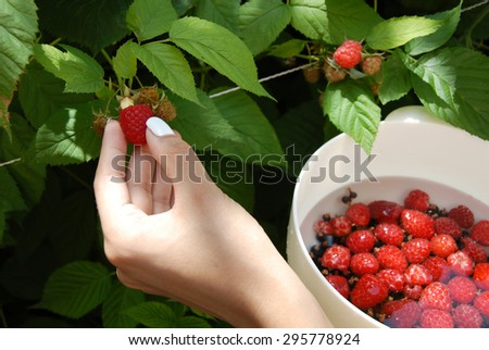 picking growing raspberry and putting them in plastic white bowl  - stock photo