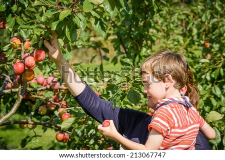 Picking plums on a lovely summers day