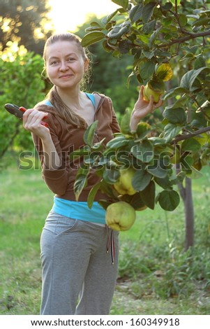 picking quinces from tree at harvest time