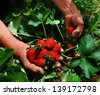 picking strawberries - stock photo