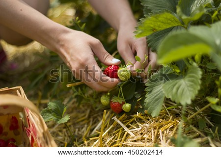 Picking strawberries - stock photo