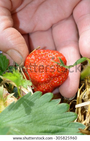 Picking up strawberry from the garden in spring. Closeup of hand and strawberry - stock photo
