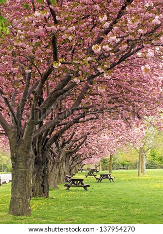 Picnic area under the blossoms of the flowering crab trees - stock photo
