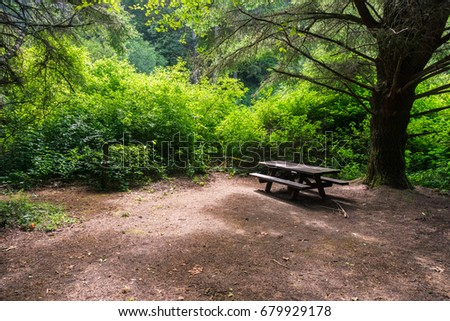 Picnic Table Under A Large Cypress Tree, Butano State Park, San Francisco  Bay Area