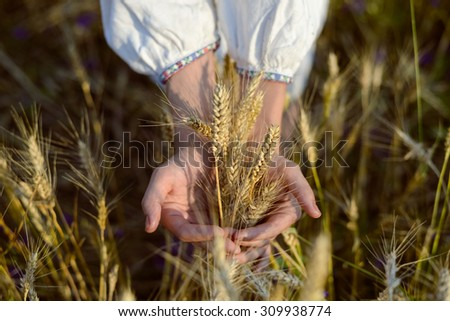 Picture closeup of two hands holding golden wheat spikes on field. Rustic outdoor scene in golden tones. - stock photo