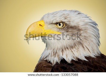 Picture of a bald eagle on a brown background