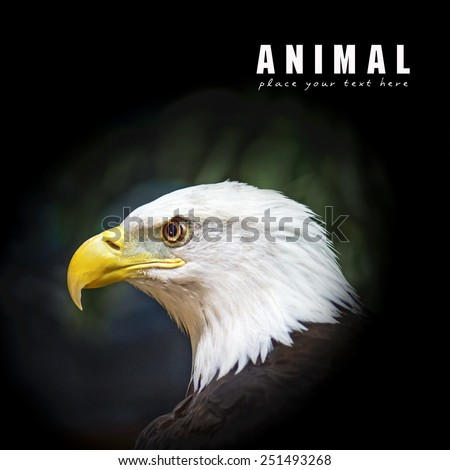 Picture of a beautiful and wild bald eagle - stock photo