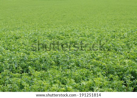 Picture of a beautiful green alfalfa field - stock photo