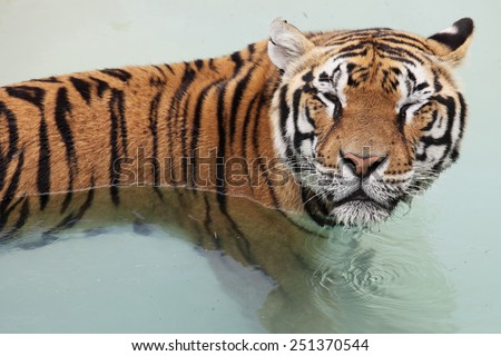 Picture of a beautiful tiger in the water - stock photo