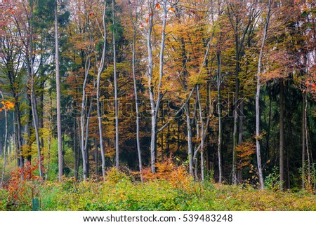 picture of a beech forest with autumn colored leaves