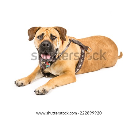 Picture of a Boerboel, south African Mastiff laying on a white background looking at the camera.