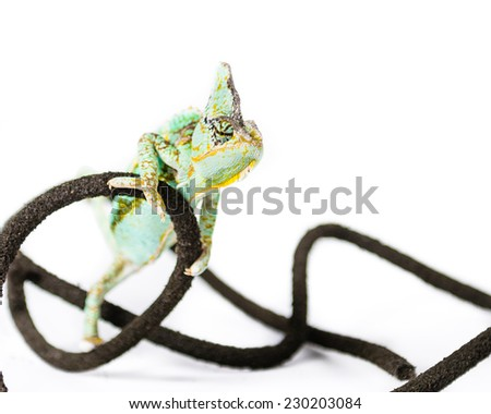 Picture of a Chameleon on a vine  - stock photo