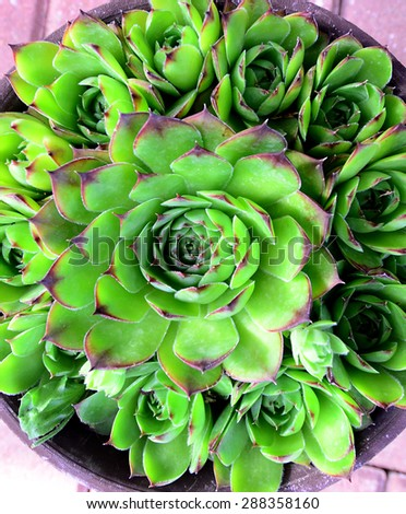 Picture of a Common House leek . lat. Sempervivum