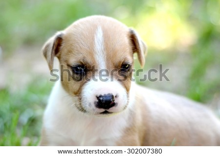 Picture of a Cute amstaff puppy, one month old - stock photo