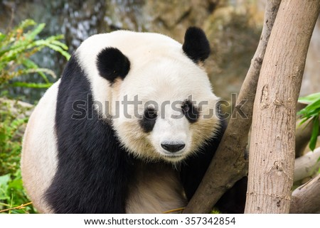 Panda Face Stock Photos, Images, & Pictures | Shutterstock