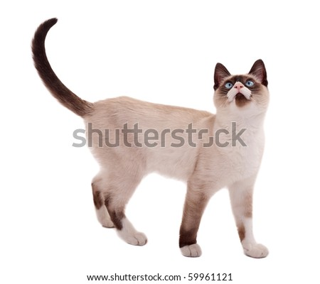 picture of a cute siamese cat standing on white, looking for something - stock photo