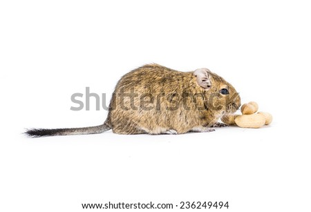 Picture of a Degu with some monkey nuts - stock photo