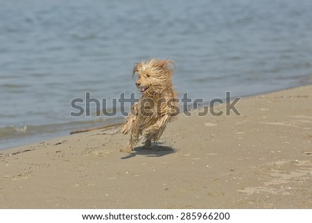 Picture of a dog with long fur running in the beach in daylight. - stock photo