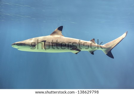 Picture of a floating shark in ocean - stock photo