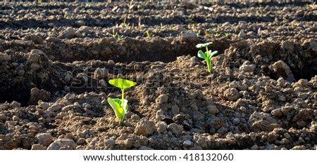 picture of a fresh planted cabbage in the morning - stock photo