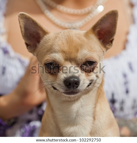 picture of a funny looking dog in front of a woman - stock photo