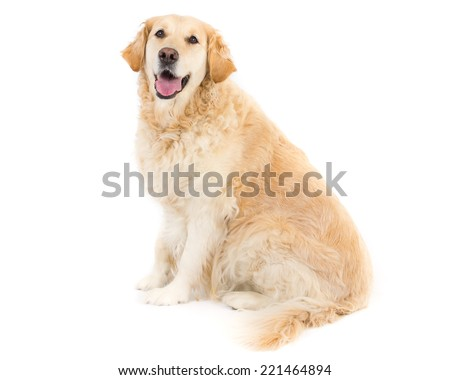 Picture of a golden retriever on a white background. - stock photo