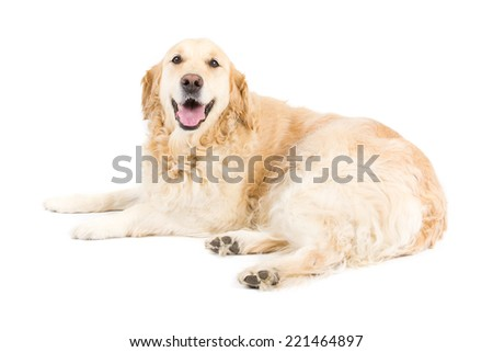 Picture of a golden retriever on a white background.