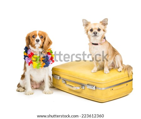 Picture of a King Charles spinal and a Chihuahua together on a suitcase - stock photo