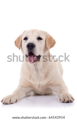 picture of a panting labrador retriever on a white background