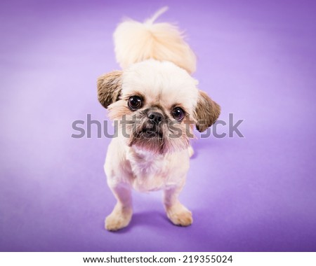 Picture of a pekingese puppy on a purple background