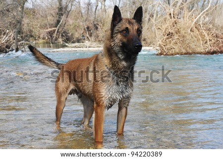 picture of a purebred belgian sheepdog malinois
