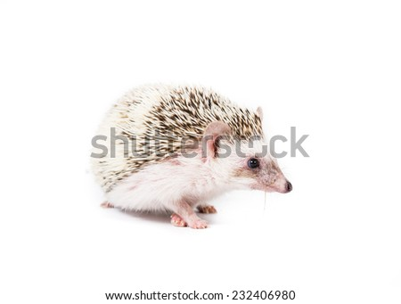 Picture of a pygmy hedgehog on a white background.  - stock photo