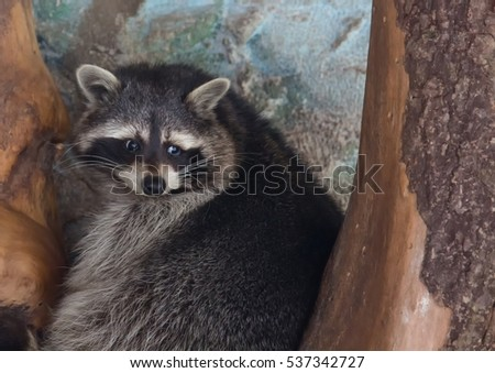 Picture of a racoon