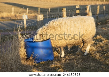 Picture of a sheep on the dike, drinking from a bucket, in northern Germany - stock photo