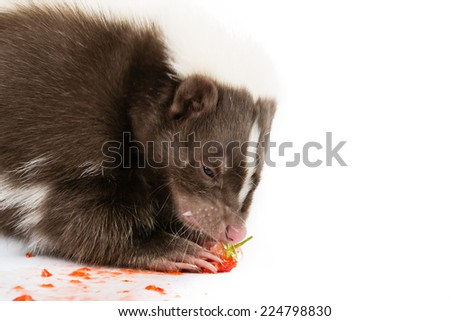 Picture of a skunk eating a strawberry on a white background  - stock photo