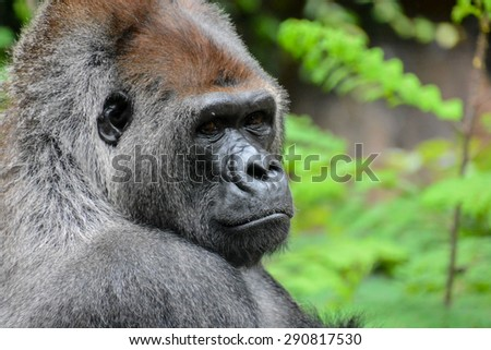 Picture of a Strong Adult Black Gorilla - stock photo