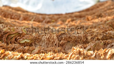 Picture of a Tobacco dry in the sun