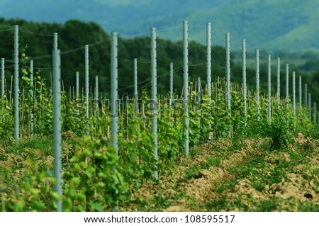 Picture of a vineyard in Romania