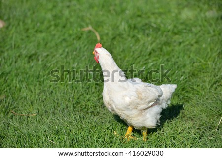 Picture of a white feathers chicken standing in a green grass. Life at the farm. Lights and shadows in a sunny summer day. Selective focus