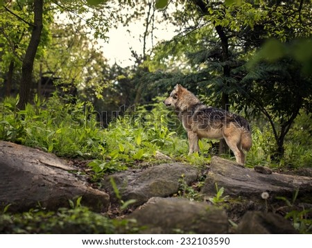 Picture of a wolf in his habitat - stock photo