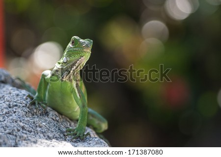 Picture of a young lizard on a rock in Palm Beach, Aruba - stock photo