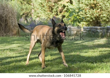 picture of an aggressive purebred belgian sheepdog malinois - stock photo